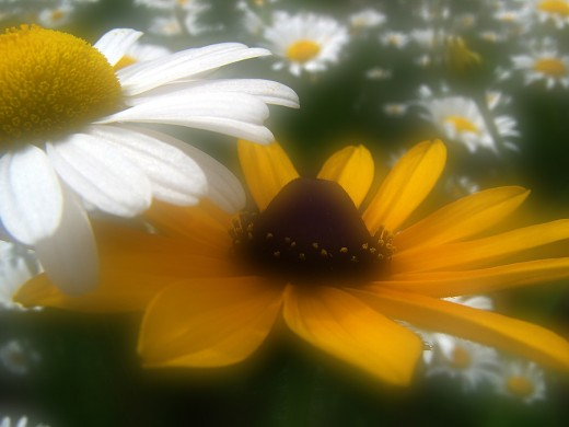 Daisy and Black Eyed Susan
