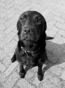 the black labrador retriever