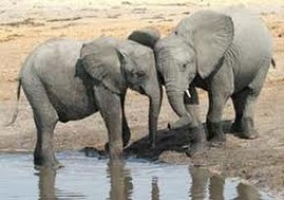 Tactile sense is very important to elephants