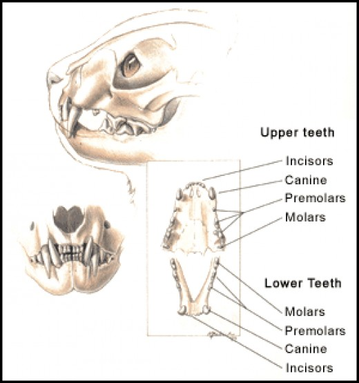 Cats by comparison have conical and serrating teeth that allow them toe catch and cut prey into bite sized chunks. t