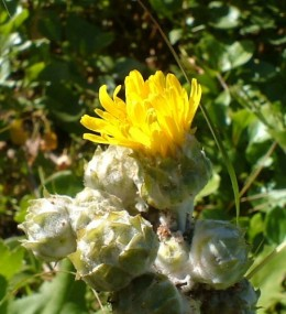 Canary Island Sow Thistle flower (Sonchus species). Photo by Steve Andrews