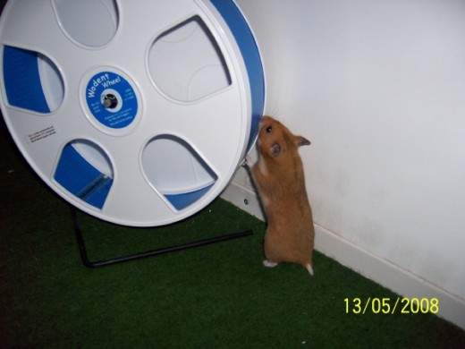 Wodent wheels are excellent choices for your syrian hamster!