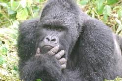 Visiting Gorillas in Uganda and Rwanda