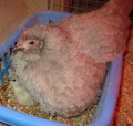 Chicken Incubators & Getting the Most Chicks from your Mailed or Shipped Hatching Eggs