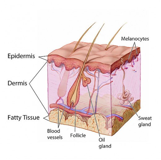 Diagram cross section of human skin.