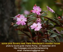 some pink flowers in Arfak mountains