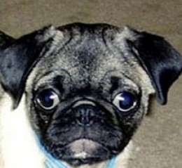 pug dog with independent eyes