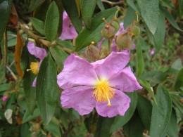The Rockrose Jaron (Cistus simphytifolius)
