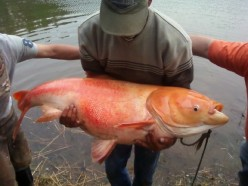 Eastern Kentucky Biggest Goldfish Breaks the Record ! Golfish in Pine Lake