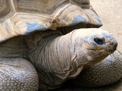 The big, old Aldabra Tortoise