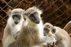 Facts about the Barbados Green Monkey