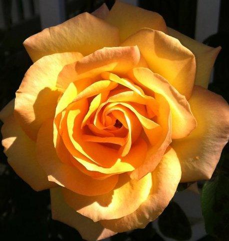 Yellow Sunburst