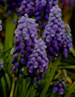 The Hidden Hyacinth