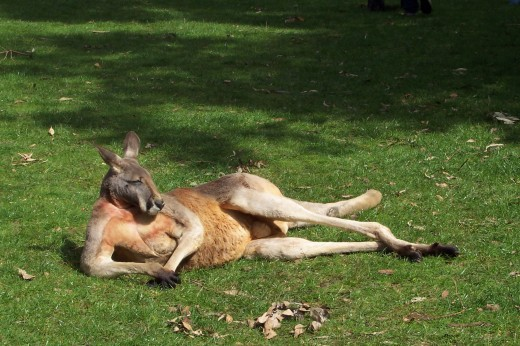 Kangaroo on rest break