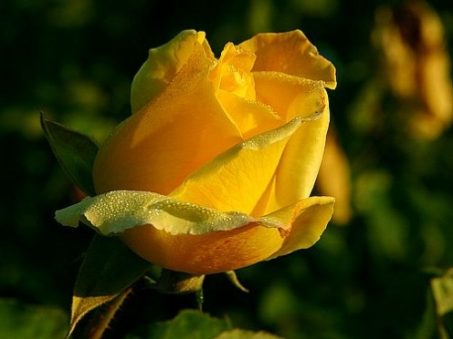 There is nothing more beautiful than a perfect yellow rose.