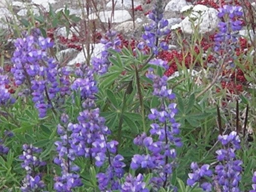 Lupins in the meadows