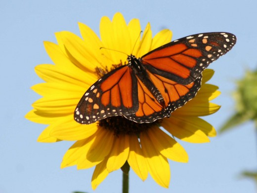 Butterfly on daisy in my front yard..Al is a masterful photographer