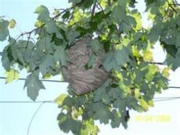 wasp.hornets nest