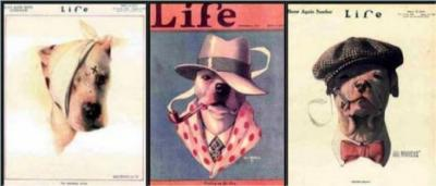 Life magazine used the pit bull on its cover not once, but three times.