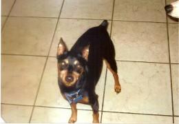 Rocky, a miniature pinscher