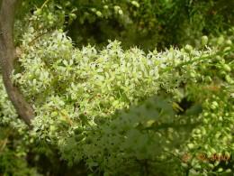 Green benefits of Ayurvedic herb Shatavari