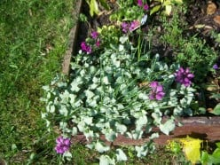 Photography - Photos of my garden - herbacious and perennial border plants 24th April 2011 to July 2013