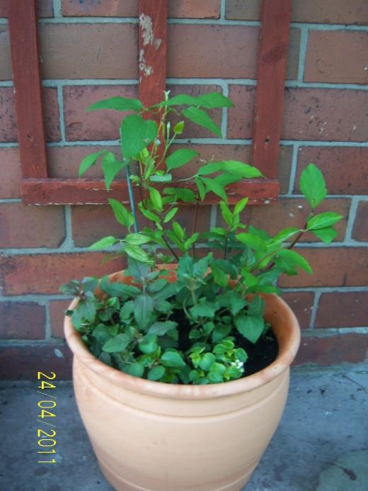 Clematis, Honeysuckle, Fuschias and Busy Lizzie pot garden