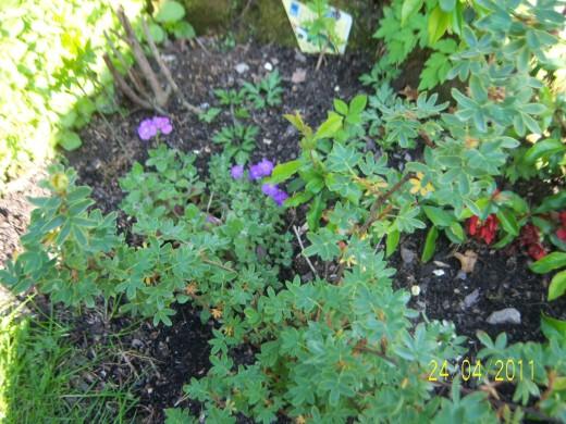 My garden 24th April 2011