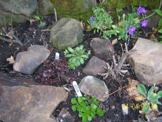 My mini Alpine Rockery