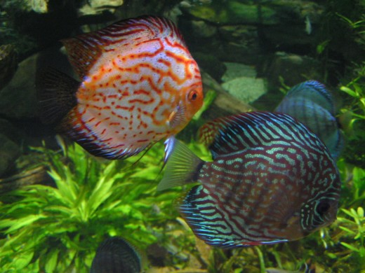 Discus are an example of a sensitive species that require a careful acclimation process.