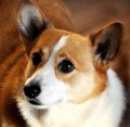 Pembroke Welsh Corgi Dog Breed Facts and Interesting Information