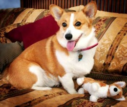 the pembroke welsh corgi dog