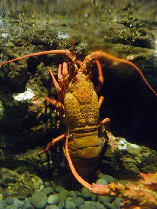 The spiny lobster or crayfish is usually caught wild in New Zealand, but like many other species, is decreasing under the voracious appetites of the nation.