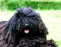 Hungarian Puli Dog Breed Facts and Puli Dog Breed Interesting Information