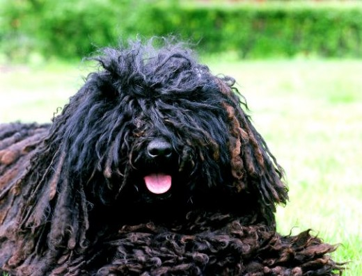puli dog - dreadlocks dog - black puli - mop dog