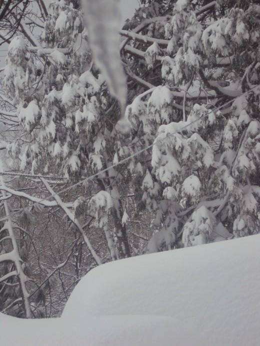 Snow is frosting the cedar tree.