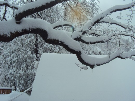 Snow is piling up on the large branch of an oak tree.