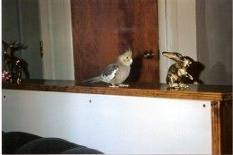 Trouble, our cockatiel, in our living room