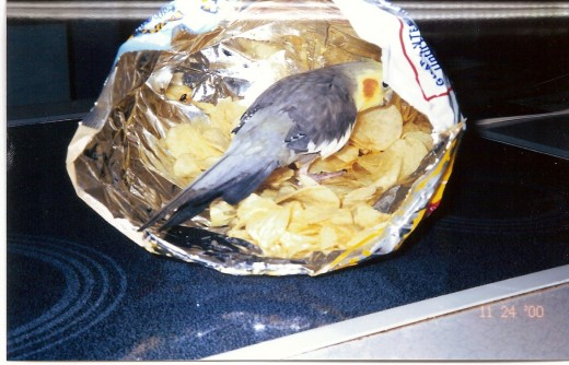 Trouble, our cockatiel, in the potato chip bag
