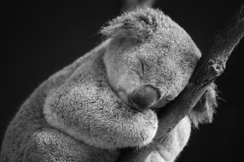 Realistic isn't it?...No, ok it's a real koala.I think. Image from Edgeoftheplank