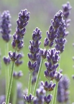 Lavender oil is great for all skin types.