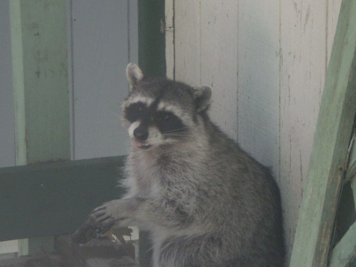 A raccoon spotted on a deck in the San Bernardino Mountains.