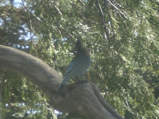 A stellar jay on a tree branch.