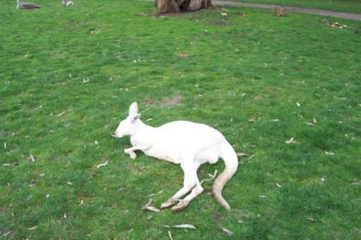 unusual White kangaroo