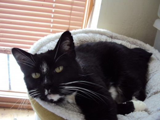 Annie is the manx cat who is known for the thinner white stripe on her nose, which is how we tell her apart from Bobby.