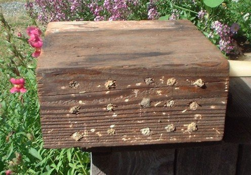 A mason bee nest made by drilling small holes in an old mason block.  The mud spots are where the female has sealed off the last cell in the hole.  Nests can be small enough to sit undetected on a balcony.  Photo courtesy:  Wikipedia