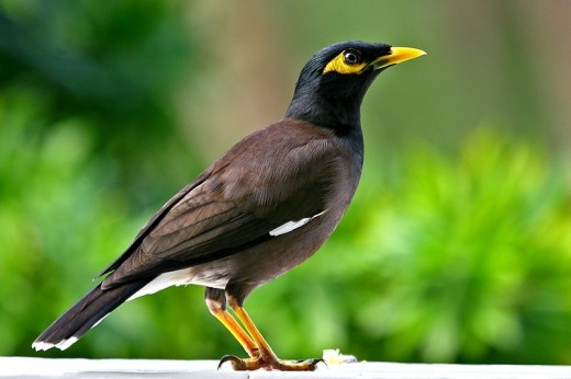 The Mynah