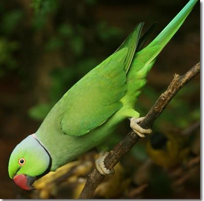 the Roseringed Parakeet