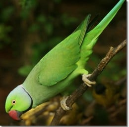 the Roseringed Parakeet