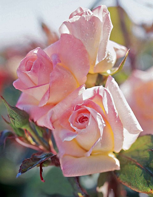 "This is the commemorative Diana Rose, named after the late princess (introduced in 2007 by Jackson & Perkins Company).  To be able to ""clone"" a rose like this is something most people only dream about...but it is possible."